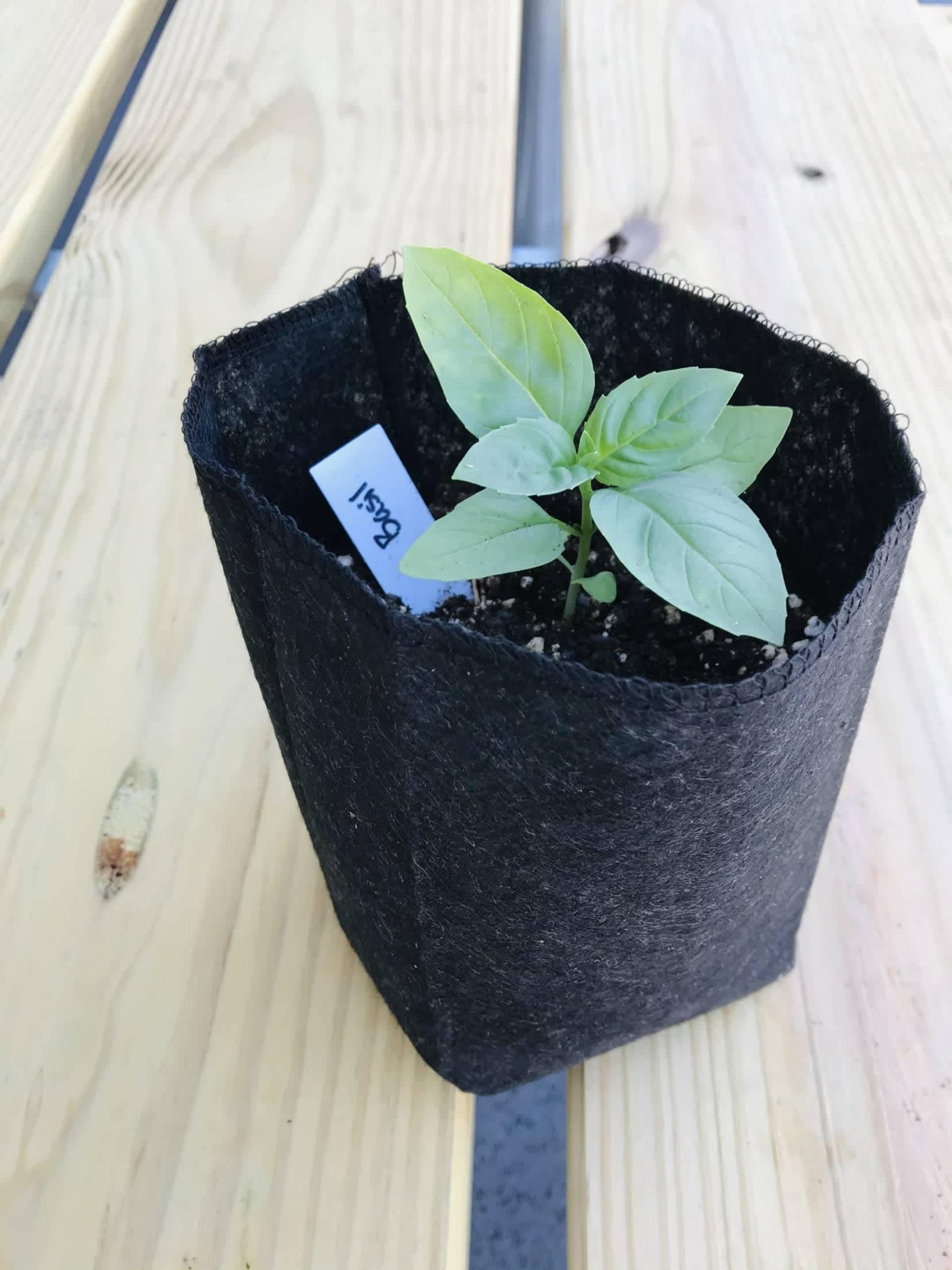 Basil Plant ($10)